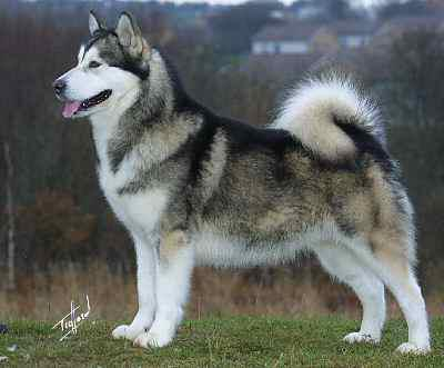 Vidéos malamute de alaska chiens de race malamute de